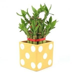 Lucky bamboo in a square yellow dotted pot